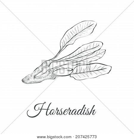 Horseradish sketch vector illustration. Horseradish hand drawing Armoracia