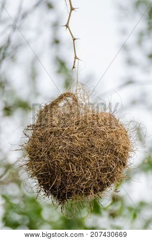 Elaborately built African weaver bird nest hanging dangerously from single twig, The Gambia, West Africa.