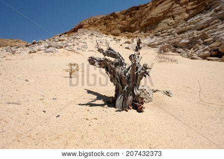 Dry tree stump on sand in Negev desert in Israel.
