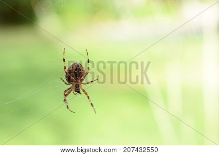 Orb weaver spider a common sight in autumn sits on its web against a light green blurred background