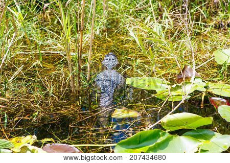 American Alligator in Florida Wetland. Everglades National Park in USA. Popular place for tourists, wild nature and animals.