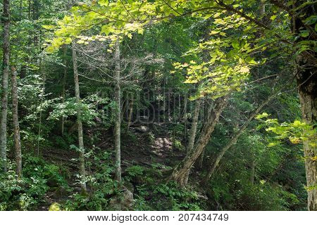 Wild forest with deciduous trees. Trees growing on the slope.
