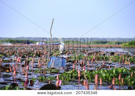 White egret perching on a pole in a red lotus lake