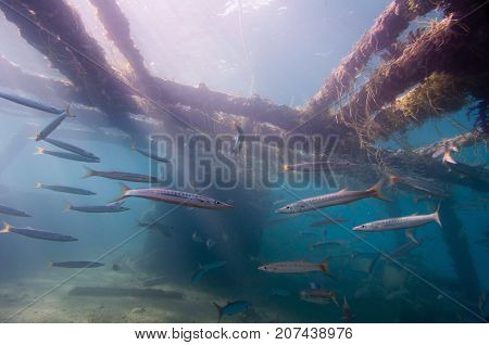 Shoal Of Barracudas On The Shipwreck,, Underwater Photo, Blue Backgrond