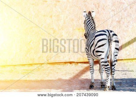 Striped zebra standing backwards. Tail. Black and white stripes. Wild nature. Bright sun light.
