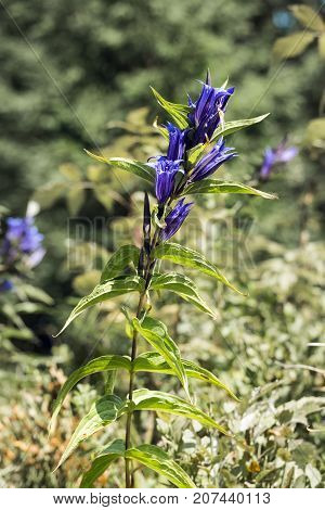 Medicinal herbs: Blue flowers of willow gentian with bell-shaped corolla (Gentiana asclepiadea)
