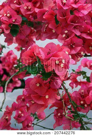 Bougainvillea - ornamental vines with flower-like spring leaves near its flowers