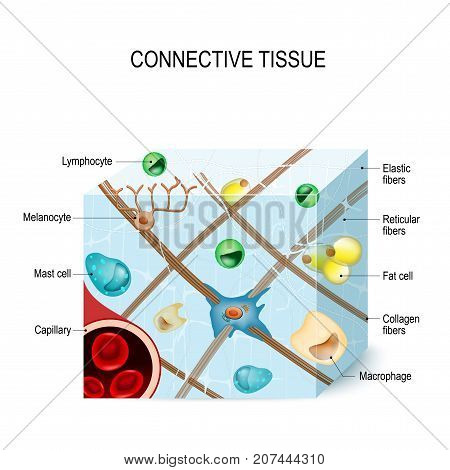 connective tissue that supports binds or separates more specialized tissues and organs of the body. Illustration showing a section of connective tissue with capillary cells (lymphocyte fat melanocyte macrophages mast cell) and fibers (elastic collagen ret