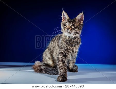 Maine Coon Kitten With Long Beautiful Tassels On The Ears. Lovely fluffy kitten with big eyes.
