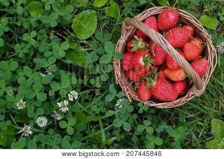 Ripe strawberry in basket on backfround of green grass. Healthy diet recept and fresh antioxidant