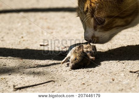 Cat sniffing a dead mouse lying on the ground