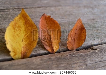 Three colorful autumn leaves on the wooden background