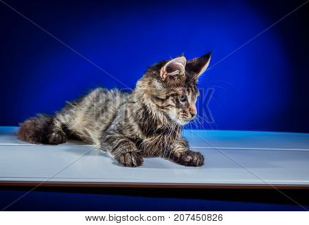 Kitten on a blue background. Decorative image of a kitten. A great picture for children's products.