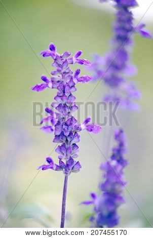 Salvia Farinacea Victoria Blue Mealycup Sage flowers