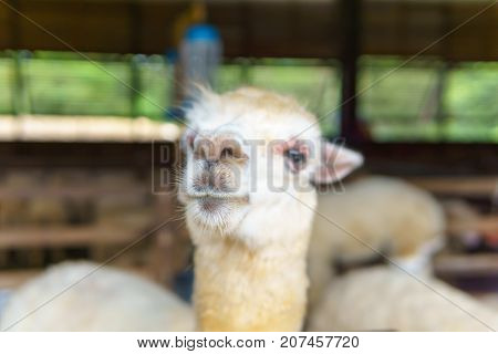 Close Up Of White And Brown Alpaca In Corral Or Fence