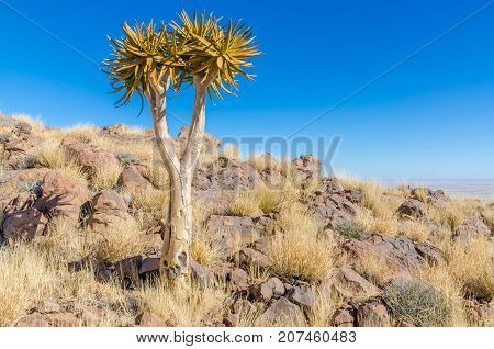 Beautiful exotic quiver tree in rocky and arid Namibian landscape, Namibia, Southern Africa.