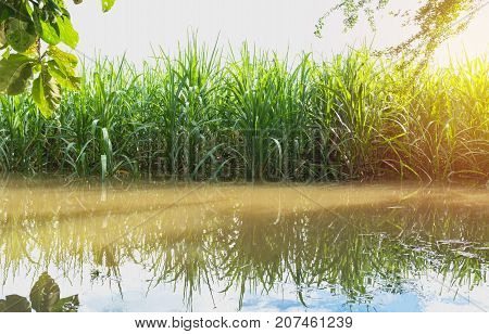 Sugarcane field with flood sugarcane under the blue sky and sunset.