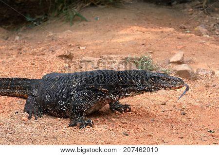 The Asian Water Monitor or water dragon in Sri Lanka