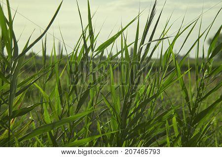 Swampy Vegetation At Sunset