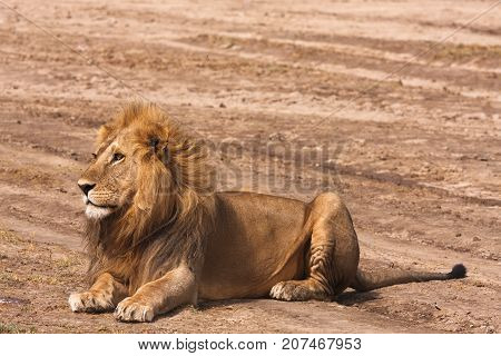 Lion resting on the ground in sandy savanna of Serengeti, Tanzania