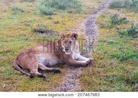 The lazy lioness on the ground. Sandy savanna of Serengeti, Tanzania