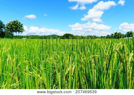 Close Up Of Organic Rice Produce Grain In The Rural Rice Paddy Fields With Blue Sky And Cloud At Cou