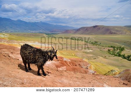 Old lonely black goat grazing on arid of Altai mountains. Altay Republic Siberia Russia.