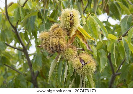 Close up of chestnuts on a chestnut tree
