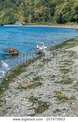 A Blue Heron wades in a pool along the shore in Burien Washington.