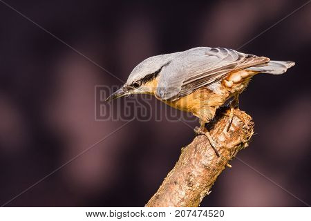 Nice Single Nuthatch Bird Perched On Twig