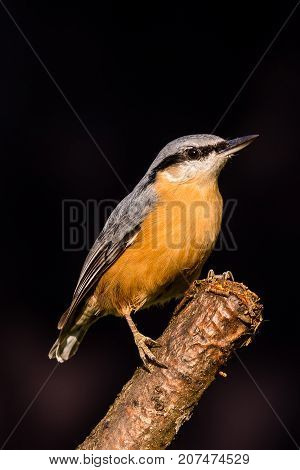 Nice Single Nuthatch Perched On Twig