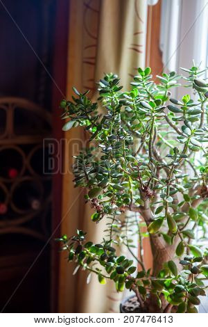 Money tree. Large indoor succulent potted plant in the light of a window sill. Pretty green leaves providing home decor as an interior design feature.