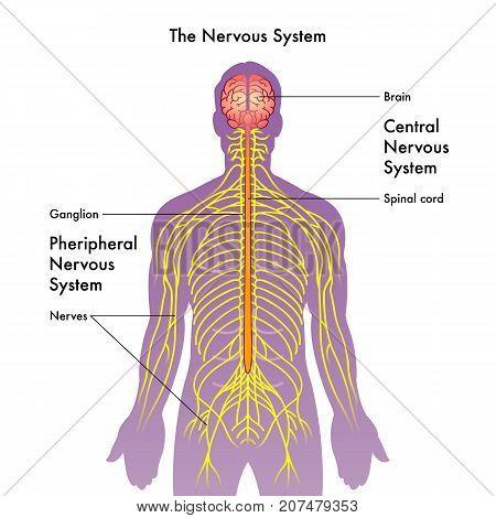vector medical illustration of the nervous system