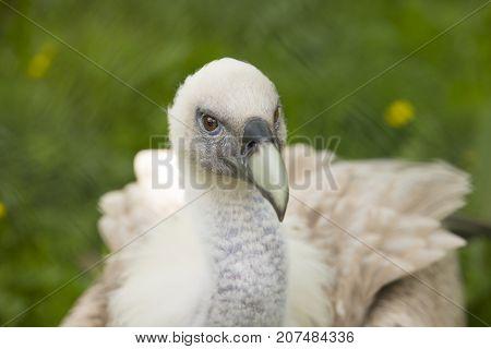 Closeup of a Young Griffon vulture Gyps fulvus