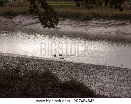 bird ducks swimming wading in stream overcast