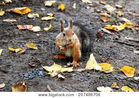 Squirrel in the autumn forest collects nuts for the winter