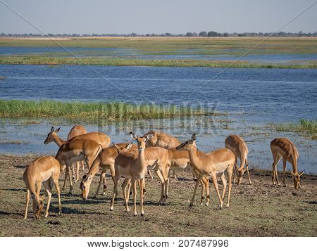 Group of impala antelopes feeding and grazing in front of Chobe River, Chobe National Park, Botswana, Africa.