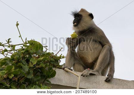 The wild  Hanuman Langurs of Sri Lanka
