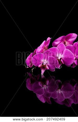 orchid pink flower with water drops isolated on black background - reflection