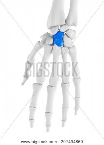 3d rendered medically accurate illustration of capitale