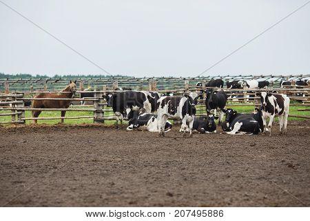 Cows on the farm with tags on their ears. Farm in the village. Farm with cows. Farm in the open air. Fencing on the farm