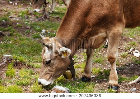 Alpine cow eats grass in the mountain pastures
