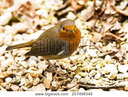 This little robin came near us when sat at a table outside a cream tea place, looking for crumbs or waiting for crumbs to dropped near him.