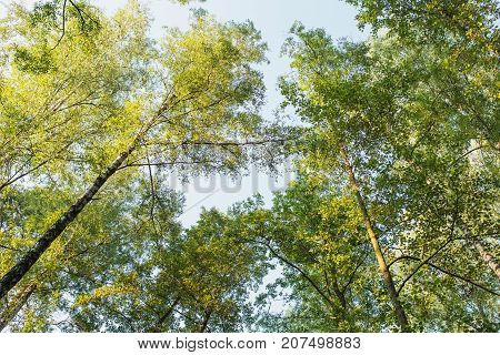 Tree tops are illuminated by the setting sun. Summer time tree. Dark forest tree. Clear sky and green tree. Tree top view. Spring time tree