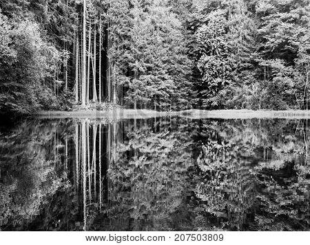 Boubin lake. Reflection of lush green trees of Boubin Primeval Forest, Sumava Mountains, Czech Republic. Black and white image.