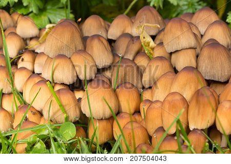 Brown glistening inkcap mushrooms in grass during autumn