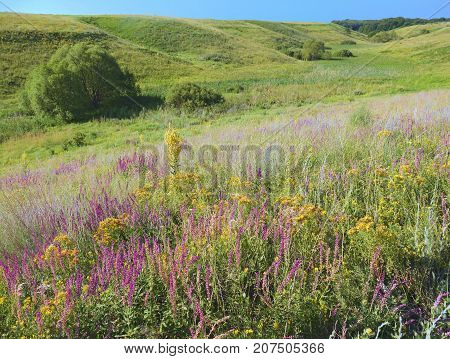 Endless steppe, heath grasslands, near Belgorod, Russia. Dry meadow is covered with yellow, blue, and violet flowers. The sun is shining over the field. Hills and shallows, dried grass, high weeds.