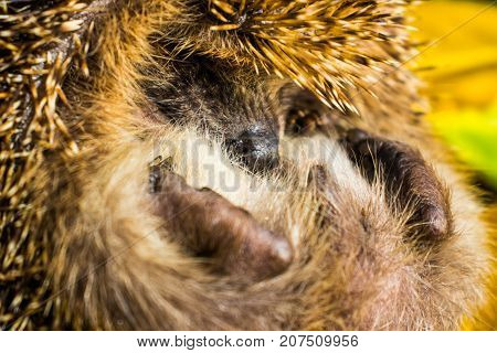 The hedgehog curled up and hid his nose.