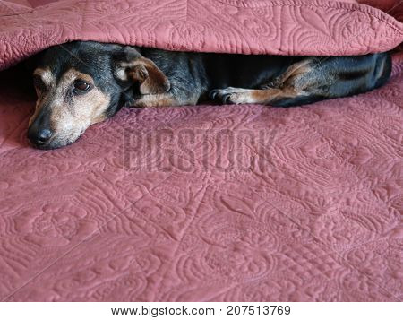An elderly dachshund peeks out from under a colorful bed quilt and prepares for a nap.