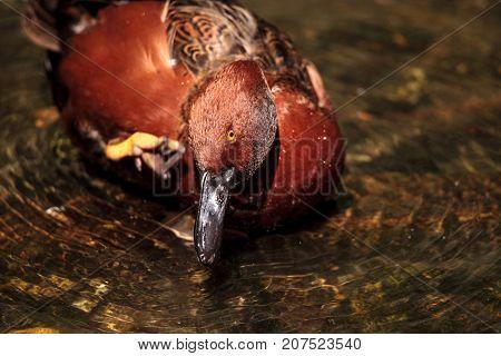 Redhead Duck Called Aythya Americana